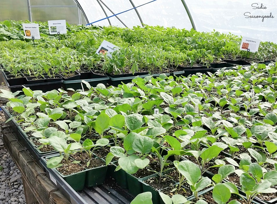 Organic plant sale for DIY thank you gifts