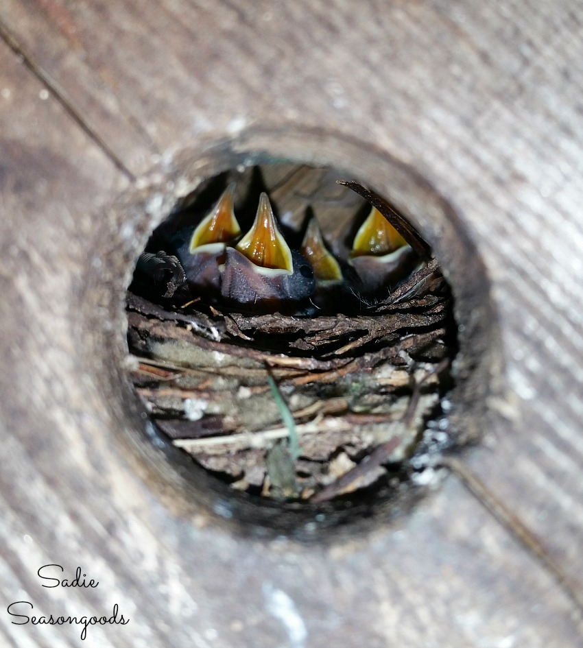 Baby Wrens in a birdhouse or bird house in Greenville SC