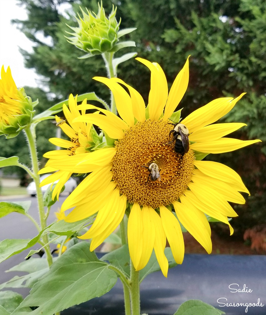 Bee habitat for pollinators with sunflowers in the yard